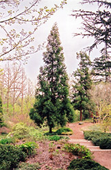 Japanese Cedar (Cryptomeria japonica) at River Street Flowerland