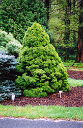 Dwarf Alberta Spruce (Picea glauca 'Conica') at River Street Flowerland