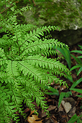 Northern Maidenhair Fern (Adiantum pedatum) at River Street Flowerland