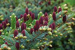 Red Cone Spruce (Picea abies 'Acrocona') at River Street Flowerland