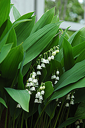 Lily-Of-The-Valley (Convallaria majalis) at River Street Flowerland