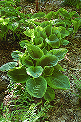 Frances Williams Hosta (Hosta 'Frances Williams') at River Street Flowerland