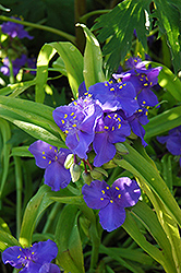 Sweet Kate Spiderwort (Tradescantia x andersoniana 'Sweet Kate') at River Street Flowerland