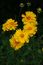 Early Sunrise Tickseed (Coreopsis 'Early Sunrise') at River Street Flowerland