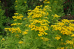 Isla Gold Tansy (Tanacetum vulgare 'Isla Gold') at River Street Flowerland