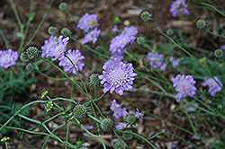 Butterfly Blue Pincushion Flower (Scabiosa 'Butterfly Blue') at River Street Flowerland