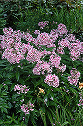 Bright Eyes Garden Phlox (Phlox paniculata 'Bright Eyes') at River Street Flowerland