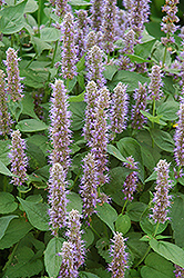 Blue Fortune Anise Hyssop (Agastache 'Blue Fortune') at River Street Flowerland