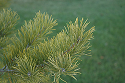 Scotch Pine (Pinus sylvestris) at River Street Flowerland