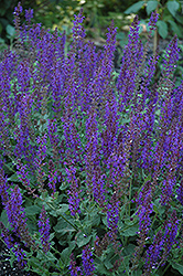May Night Sage (Salvia x sylvestris 'May Night') at River Street Flowerland