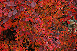 Rose Glow Japanese Barberry (Berberis thunbergii 'Rose Glow') at River Street Flowerland