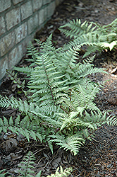 Ghost Fern (Athyrium 'Ghost') at River Street Flowerland