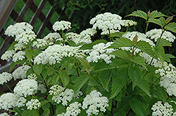 Blue Muffin® Viburnum (Viburnum dentatum 'Christom') at River Street Flowerland