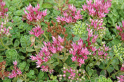 John Creech Stonecrop (Sedum spurium 'John Creech') at River Street Flowerland