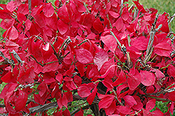 Compact Winged Burning Bush (Euonymus alatus 'Compactus') at River Street Flowerland