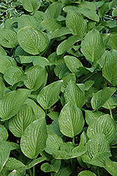 Royal Standard Hosta (Hosta 'Royal Standard') at River Street Flowerland