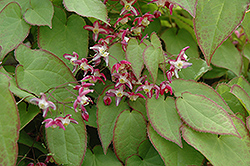 Bishop's Hat (Epimedium x rubrum) at River Street Flowerland