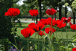 Beauty of Livermere Poppy (Papaver orientale 'Beauty of Livermere') at River Street Flowerland
