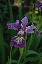 Blue Flag Iris (Iris versicolor) at River Street Flowerland
