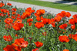 Brilliant Poppy (Papaver orientale 'Brilliant') at River Street Flowerland