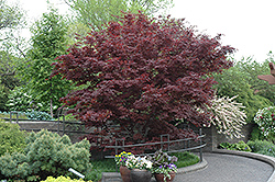 Bloodgood Japanese Maple (Acer palmatum 'Bloodgood') at River Street Flowerland