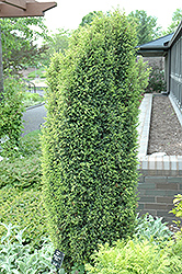 Gold Cone Juniper (Juniperus communis 'Gold Cone') at River Street Flowerland