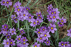 Lucerne Blue-Eyed Grass (Sisyrinchium angustifolium 'Lucerne') at River Street Flowerland