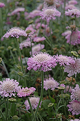 Pink Mist Pincushion Flower (Scabiosa 'Pink Mist') at River Street Flowerland