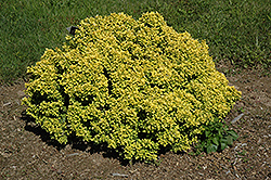 Golden Devine Dwarf Japanese Barberry (Berberis thunbergii 'Golden Devine') at River Street Flowerland