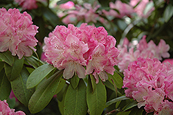 Holden Rhododendron (Rhododendron 'Holden') at River Street Flowerland
