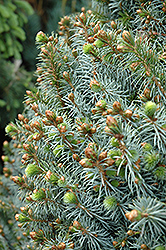 Papoose Dwarf Sitka Spruce (Picea sitchensis 'Papoose') at River Street Flowerland
