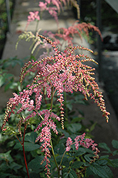 Ostrich Plume Astilbe (Astilbe x arendsii 'Ostrich Plume') at River Street Flowerland