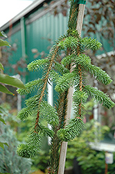 Cobra Norway Spruce (Picea abies 'Cobra') at River Street Flowerland