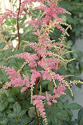 Bressingham Beauty Astilbe (Astilbe x arendsii 'Bressingham Beauty') at River Street Flowerland