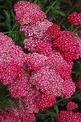 Saucy Seduction Yarrow (Achillea millefolium 'Saucy Seduction') at River Street Flowerland