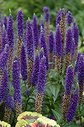 Royal Candles Speedwell (Veronica spicata 'Royal Candles') at River Street Flowerland