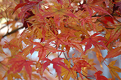 Butterfly Variegated Japanese Maple (Acer palmatum 'Butterfly') at River Street Flowerland