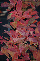 Little Henry® Virginia Sweetspire (Itea virginica 'Sprich') at River Street Flowerland