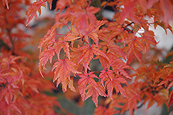 Lions Head Japanese Maple (Acer palmatum 'Shishigashira') at River Street Flowerland