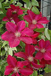 Rebecca Clematis (Clematis 'Rebecca') at River Street Flowerland