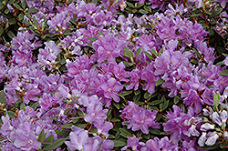 Purple Gem Rhododendron (Rhododendron 'Purple Gem') at River Street Flowerland