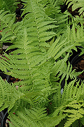 The King Ostrich Fern (Matteuccia 'The King') at River Street Flowerland