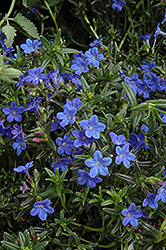 Grace Ward Lithodora (Lithodora 'Grace Ward') at River Street Flowerland