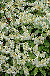 Cavatine Dwarf Japanese Pieris (Pieris japonica 'Cavatine') at River Street Flowerland