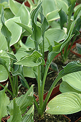 Praying Hands Hosta (Hosta 'Praying Hands') at River Street Flowerland