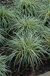 Evergold Variegated Japanese Sedge (Carex oshimensis 'Evergold') at River Street Flowerland