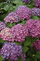 Pia Hydrangea (Hydrangea macrophylla 'Pia') at River Street Flowerland