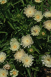 Mary Gregory Aster (Stokesia laevis 'Mary Gregory') at River Street Flowerland
