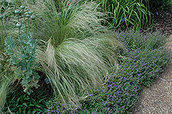 Mexican Feather Grass (Nassella tenuissima) at River Street Flowerland