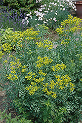 Common Rue (Ruta graveolens) at River Street Flowerland